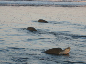 This late comer was headed ashore after sunrise when nearly all of her companions had already headed back. We watched her for about an hour as she made her way up to the high tide mark, scratched around in the sand, changed her mind and headed back to the water
