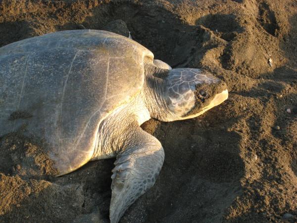 The peak of the turtle nesting season