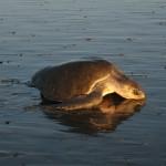 Intimate Sea Turtles
