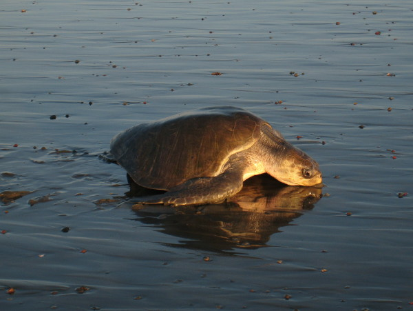 exhausted Olive Ridley (Lepidochelys olivacea) Sea Turtle