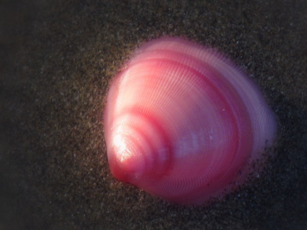 Scallop Shell on Costa Rica Beach