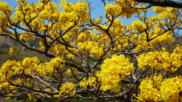 Cortez tree (Tabebuia ochracea) in flower