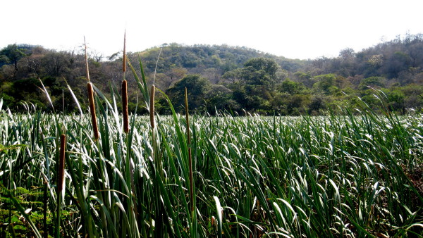 Cattails with hills in the background