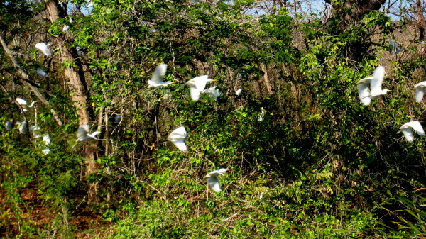 cattle egrets taking flight