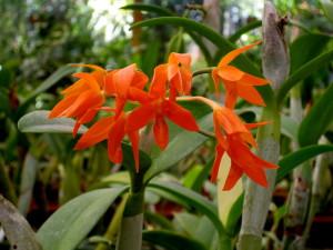 Orange orchid Lankester Gardens