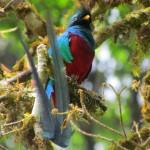 Resplendent Quetzals