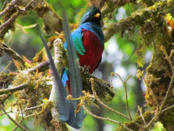 Male Resplendent Quetzal (Pharomacrus mocinno, Spanish-Quetzal or Feníx del Bosque)