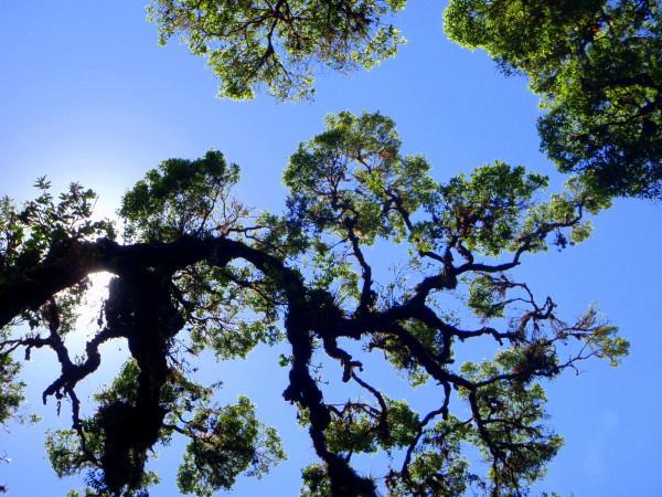 Oak Trees (roble)