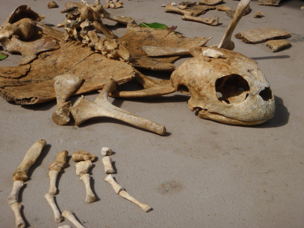 re-assembled turtle skeleton