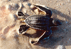 Recently hatched baby leatherback turtle