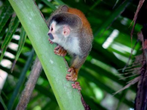 Squirrel Monkeys are among the wildlife you can see in Manuel Antonio