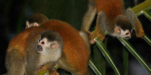 Red-backed Squirrel Monkey, Saimiri oerstedii (Spanish-Mono Tití)