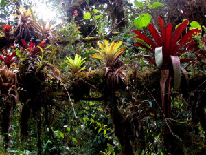 Epiphytes in La Amistad National Park