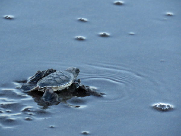 Baby Sea Turtle in Tortuguero