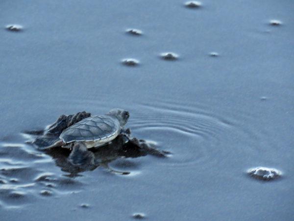 Baby Sea Turtle in Tortuguero