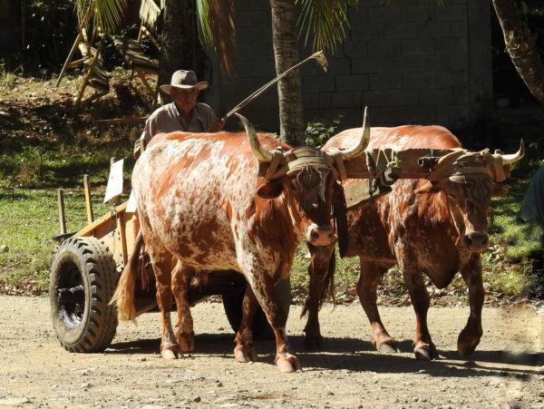 Bueyero tradional ox cart
