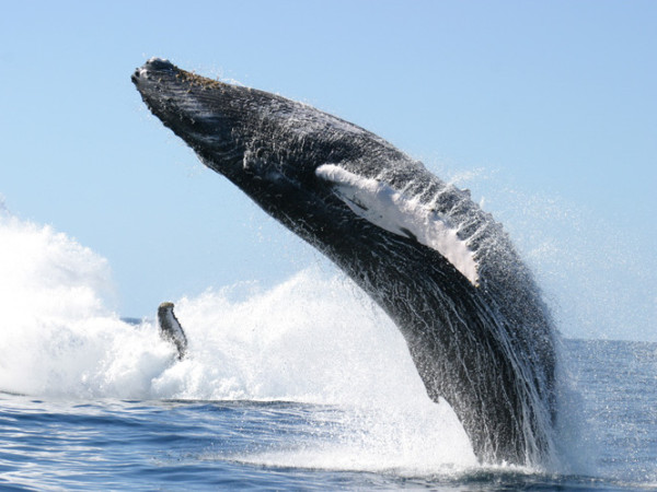 Humpback Soaring into the air - Spy Hopping