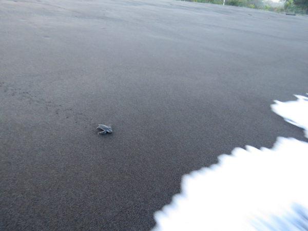 Sea Turtle Hatch