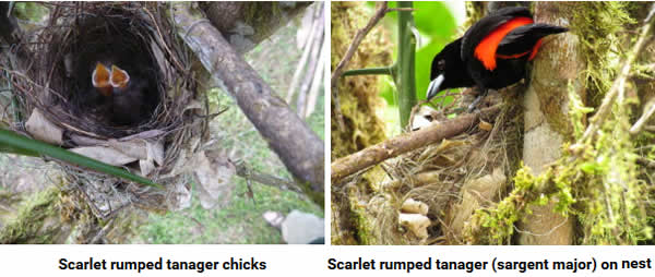 Tanager chicks and father
