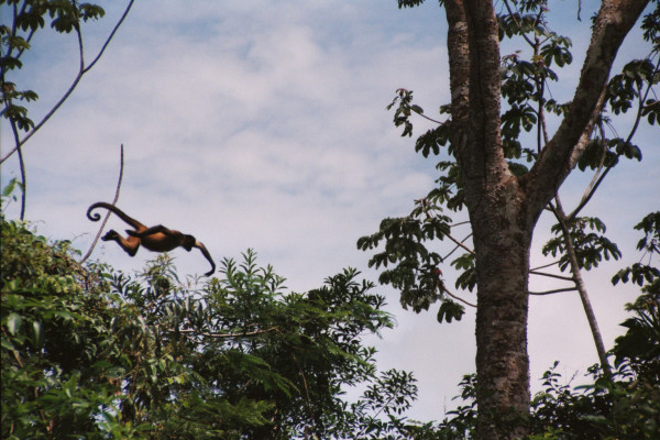 Central American Spider Monkey, Ateles geoffroyi (Spanish-Mono Colorado or Mono Araña). We often saw monkeys launching from one tree to another but it required fortunate timing to get this dramatic picture along the banks of the Río Frío Cano Negro.