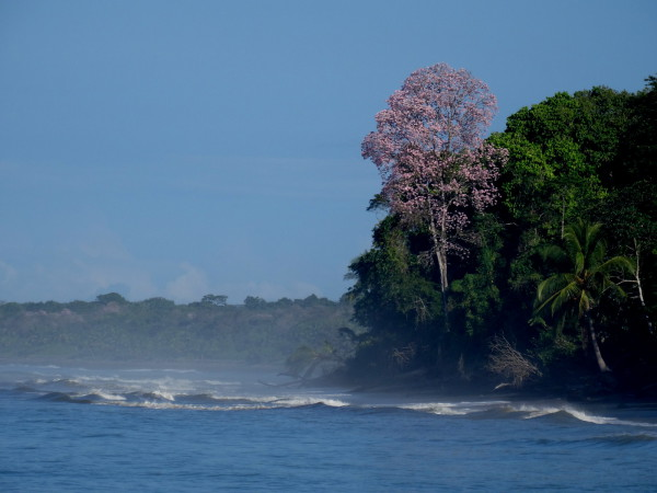 Flowering tree along Playa Corcovado