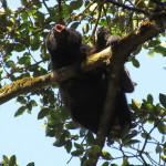 Howler monkey (mono congo) howling