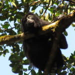 Mono Congo (howler monkey)