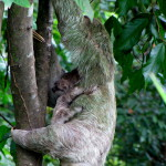 Sloths are asleep 80% of their lives so if you see one up and moving consider yourself lucky. This Mother AND the baby clinging tightly to her are both awake...double bonus