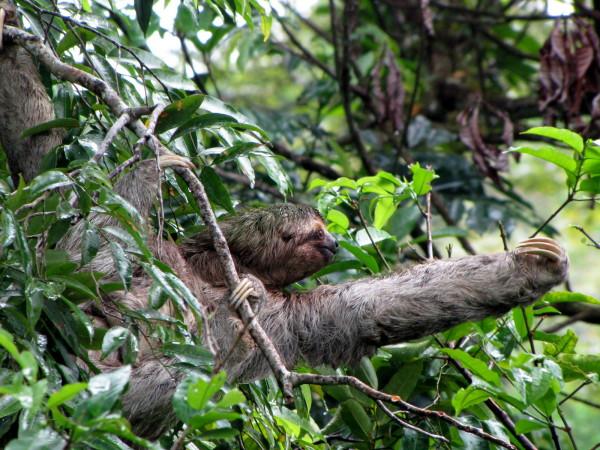 Sloth, Manuel Antonio