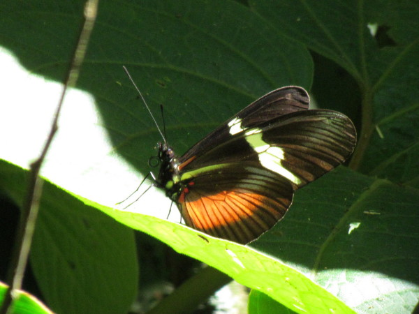 Orange black and white butterfly