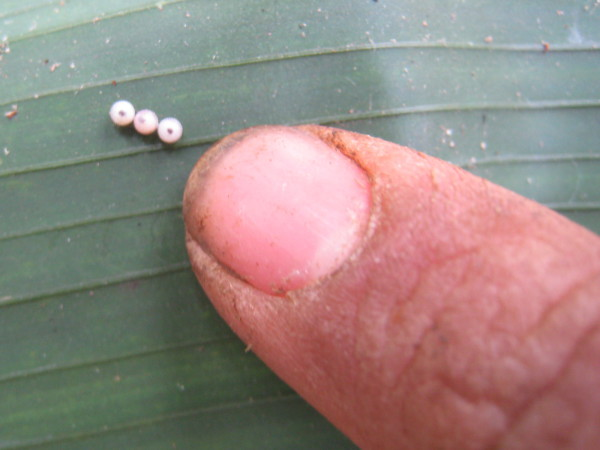 Owl butterfly (Caligo memnon) eggs