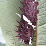 Doris Longwing, Doris Butterfly (Heliconius doris) caterpillar