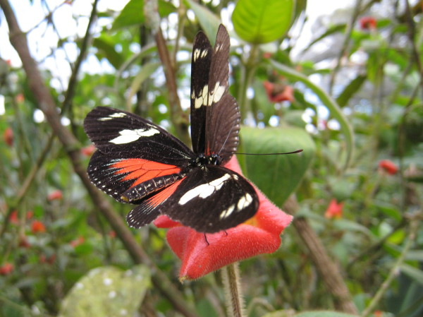 Red black and white butterfly