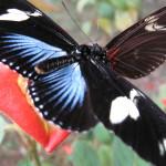 Doris Longwing, Doris Butterfly (Heliconius doris)