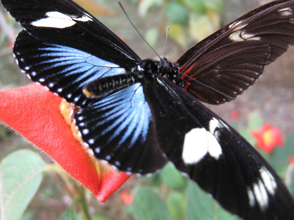 Doris Longwing, Doris Butterfly (Heliconius doris)