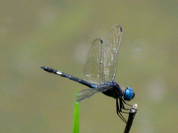 Caballito del Diablo - the devil's little horse. There is a common myth that beacuse of the way thier legs are attached dragonflies cannot walk - in fact they can walk, but only backwards!