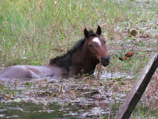 This horse was perfectly happy to munch watercress and other aquatic plants in his soggy pasture sharing with a pair of Jacana