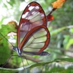White spotted glass-wing butterfly (Greta annette or Greta nero) along Sendero la Catarata in Tapantí-Macizo de la Muerte National Park