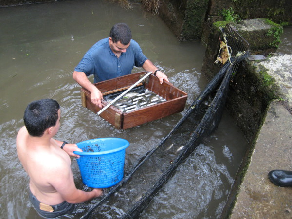 The simple wooden box has carefully spaced bars in the bottom. Smaller fish slip through the spaces and back into the pool. Larger fish stay in in the box and are lifted into the next pool downstream