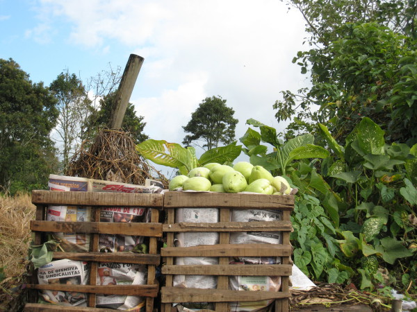 Chayote to market