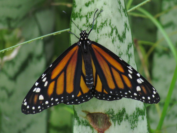 Orange white and black butterfly that looks a little like a monarch