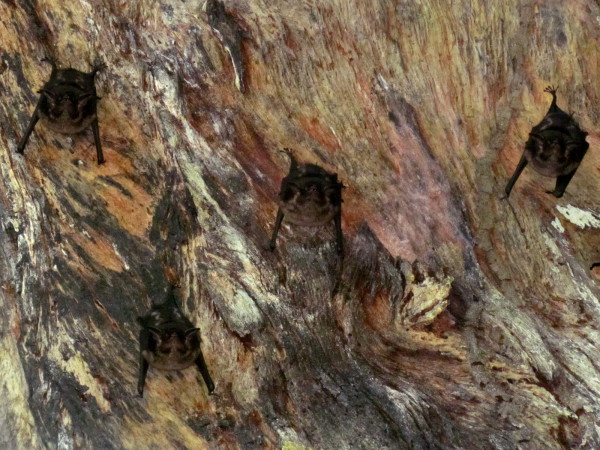 Bats roosting in the hollow of a tree