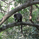 Pizote (ringtail coatamundi) Hacienda Barú National Wildlife Refuge