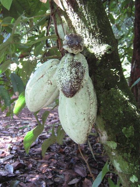 Theobroma cacao Coco pods