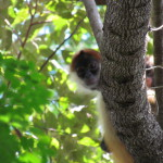 Curious young Geoffroy's Spider Monkey (Ateles geoffroyi) watches us on the hiking trail Santa Rosa National park