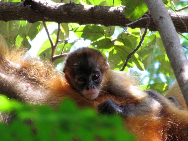 Infant spider monkey peeking down from his perch on his mom's belly - Murcielago sector on the trail to Bahia/Playa Hachal