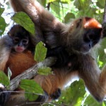 Mother with infant spider monkeys in the Murcielago sector of Santa Rosa/Guanacaste National park on the trail to Bahia/Playa Hachal. Geoffroy's Spider Monkeys (Ateles geoffroyi) are called mono aranya in Spanish and are also known as Black-handed Spider Monkey