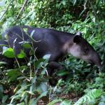 Tapir - Corcovado national park