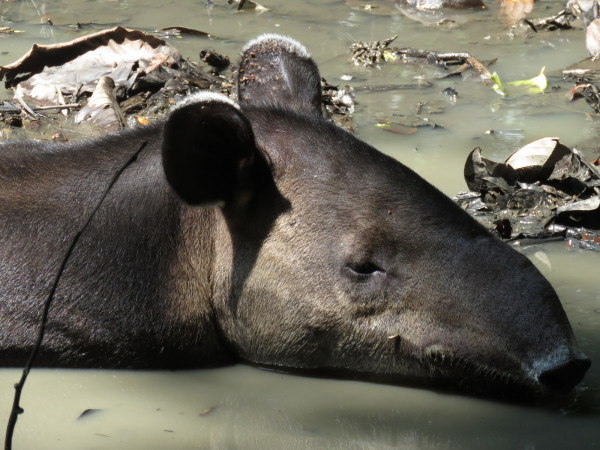 Baird's tapir (Tapirus bairdii) or the central American tapir cooling off in a mud bath near Sirena station Corcovado National Park Costa Rica