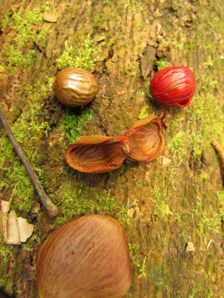 Wild nutmeg